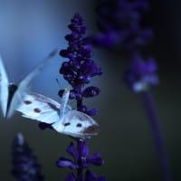 蝶の求愛行動は・・・!!