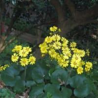 カエンキセワタ ツワブキ ニトベギクの花