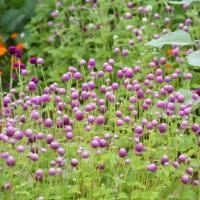 花壇のセンニチコウが満開です。