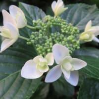 紫陽花「コンペイトウブルー」 2