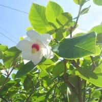オオヤマレンゲ咲く