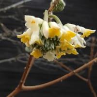 No.1708 ミツマタの花