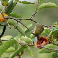柿の実を啄ばむメジロ