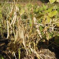 小豆、採り始める