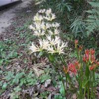 赤い花は曼珠沙華!白い花は彼岸花と呼びたい!