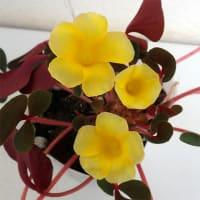 名月のめぐみ初入荷!秋に黄色い花が咲くオキザリスです