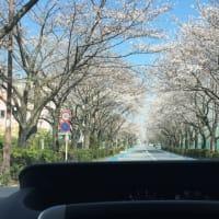 【第2346回】桜トンネル