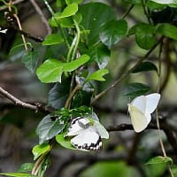 ナミエシロチョウ:交尾を迫るオスと拒否するメス