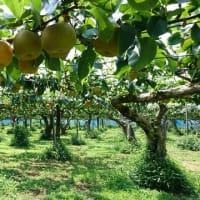 梨畑がなくなります