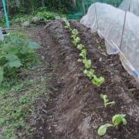 レタス苗植える