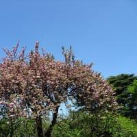 「八重桜」/新宿御苑