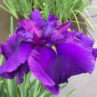 菖蒲が見頃です・・どの花も紫が素敵(⋈◍>◡<◍)。✧♡