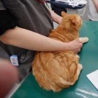 猫のチャーチャ2回目のワクチン