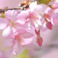春近し ~ 河津桜