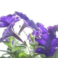 癒しの星形で2つ弾けて濃紫星21
