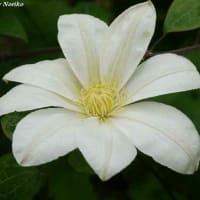 我家の庭の花 牡丹 クレマチス 苧環 (おだまき)