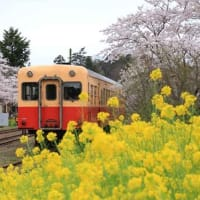 満開の桜と菜の花・小湊鉄道 里見駅(千葉県)