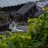街猫仲春(ハルナカバノマチネコ) ⑨ Okinawan Cats #2232