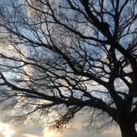 冬枯れの枝ぶり…多摩川冬景色シリーズ