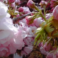 """~可憐に、優雅に咲き誇る""""八重桜""""~"""