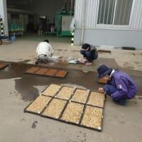 水稲優良品種決定試験用の播種