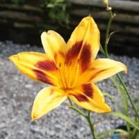 おはようの花」 ヘメロカリス 7月