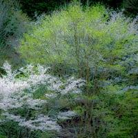 鹿沼市板荷の観音桜