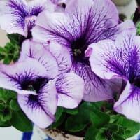 ◆実家にて、お花見日和・庭の草花に癒されます。