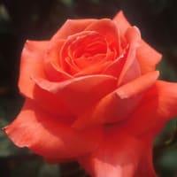 新春の花。