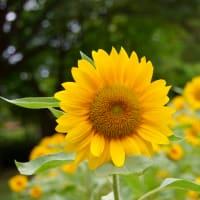 向日葵とキバナコスモス