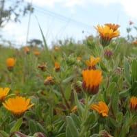 花期の長い フユシラズが 雑草になっていました!