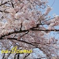 今年の桜(^_-)-☆