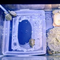 準絶滅危惧種ニホンイシガメベビー誕生