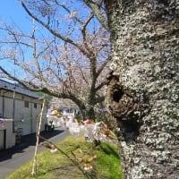 桜は5分咲き
