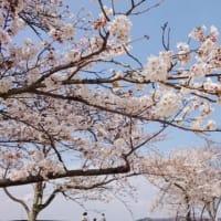 桜が咲いたのに