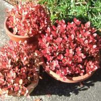 ツメレンゲの開花と紅(黄)葉の庭から