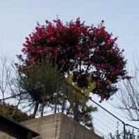 山茶花(さざんか)の花