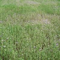 緑肥植物はハゼリソウまたはアンジェリアでした