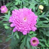 モンローダブルデープローズの花は