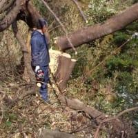 チェーンソーで山の木切り。
