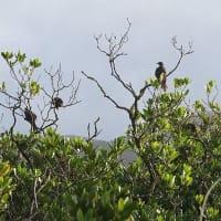 幼鳥の小群  ヒヨドリ(亜種アマミヒヨドリ)