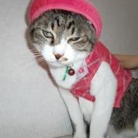 猫に服を着せると