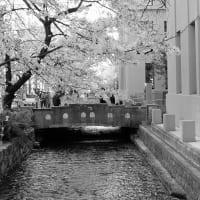 春の高瀬川 (7)