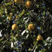 久しぶりに訪れた新宿御苑(2)ユリノキ、ツワブキ、プラタナス、アツバキミガヨラン、サンシュユ、サザンカ