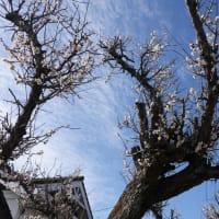 春がやってきた!梅の花の香りが漂っています。