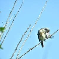 あどけないノビタキの幼鳥