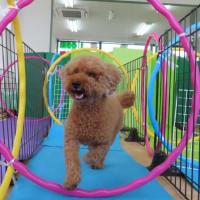 幼稚園体験にきてくれたゴールデンレトリバーの【ナナちゃん】 犬のしつけ教室@アロハドギー