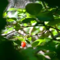 ミヤマウグイスカズラの赤い実はオイシイ。