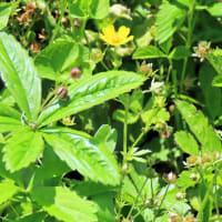 今日は真夏の暑さの中ハナムグラ咲く原野を訪ねました
