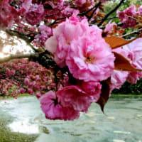 五智公園のボタン桜